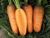 Морковь оптом Владам