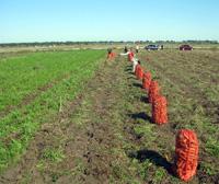 Купить морковь от производителя