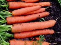 Морковка ФХ Владам