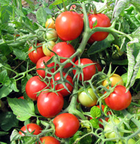 Свежие томаты в Украине